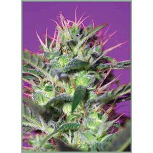 Botafumeiros - feminizovaná semienka 3 ks Sweet Seeds