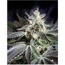 Black Jack - feminizovaná semienka 3 ks Sweet Seeds