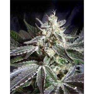 Black Jack - feminizovaná semienka 5 ks Sweet Seeds