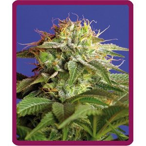 Green Poison - feminizovaná semienka 3ks Sweet Seeds