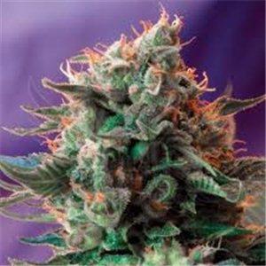 Jack 47 - feminizovaná semienka 3 ks Sweet Seeds