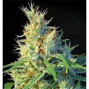 Psicodelicia - feminizovaná semienka 5 ks Sweet Seeds