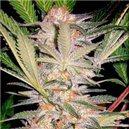 S.A.D. - feminizovaná semínka 3 ks Sweet Seeds