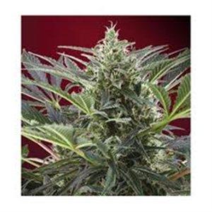 Cream 47 - feminizovaná semienka 5 ks Sweet Seeds