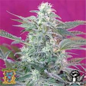Big Foot - feminizovaná semienka 10 ks Sweet Seeds