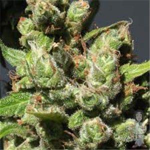 Mandalay - feminizovaná semienka 5 ks Ministry Cannabis