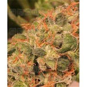 Royalmatic - autoflowerigng semienka 5 ks Ministry Cannabis