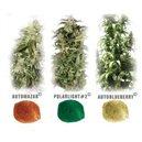 Dutch passion Mix 6: AM, PL, AB - 6 autoflowering semien