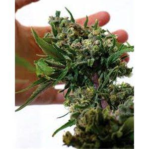 Blue Cheese - feminizovaná semená 5 ks Barney Farms