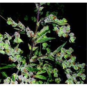 Dr Grinspoon - feminizovaná semená 10 ks Barney Farms