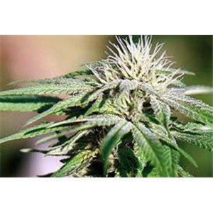 Night Shade - feminizovaná semená 10 ks Barney Farms