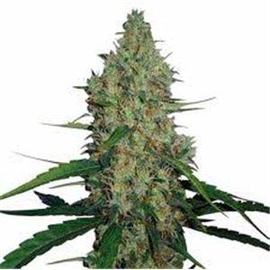 G 13 Haze - feminizovaná semená 10 ks Barney Farms