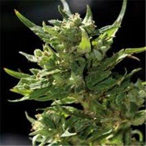 Sweet Tooth - regulárny semená 10 ks Barney Farms