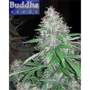 White Dwarf – 5 autoflower semen Budha Seeds