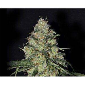White Dragon - 6ks feminizované semienka Eva Seeds
