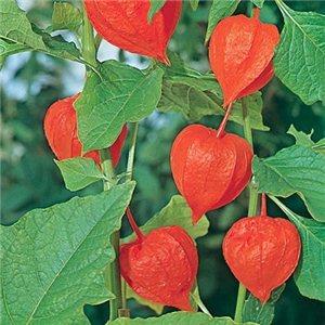 Machovky (rastlina: Physalis franchetii) - semená machovky 6ks