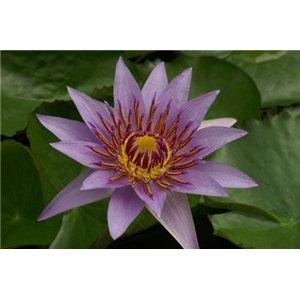 Leknín (rostlina: Nymphaea) - 10 semen leknínu