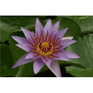 Lekno (rastlina: Nymphaea) - 10 semien lekna