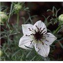 Kmín černý Baraka (rostlina: Nigella sativa) - semena kmínu
