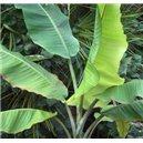 Banánovník Yunna (rastlina: Musa yunnanensis) - 4 semená