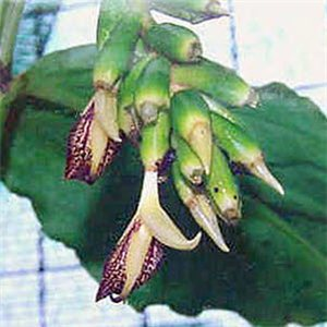 Zázvor okrasný (rastlina: Zingiber clarkeii) - 5 semien