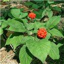 Ženšen pravý (rastlina: Panax ginseng) - 7semen ženšneu