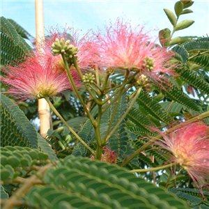 Perská akácie Albízie (rostlina: Albizia julibrissin) - 2 semínka