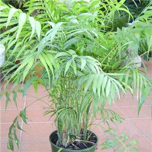 Palma horská (palma: Chamaedorea elegans) - 4 semená
