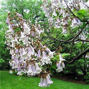 Pavlonie plstnatá - strom štěstí ( Paulownia tomentosa) - cca 25 semen