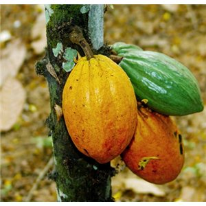 Kakaovník (rastlina: Theobroma cacao) - 3 semená kakaovníka