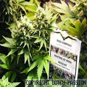 Masterkush - semenná banka Dutch Passion – 5 semen feminizovaných