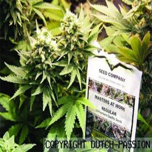 Masterkush - semenná banka Dutch Passion - 5 semien feminizovaných
