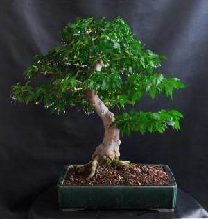 Figovník posvätný (rastlina: Ficus religiosa) semienka rastliny
