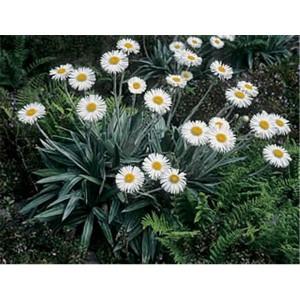 Mountain daisy (rostlina: Celmisia semicordata)  7 semen