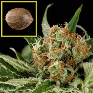 Automaria - fem. a samonakvétací semienka 10 ks Paradise Seeds