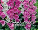 Náprstník červený - Gloxiniaeflore - směs barev  - ( Digitalis purpurea )semena 0,2 g
