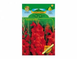 Gladiolus VICTOR BOR. / CARACAS 7ks