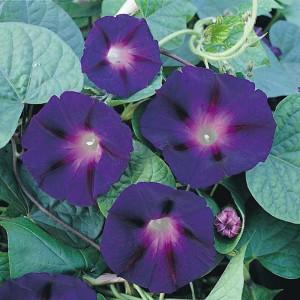 Povijník - Pharbitis purpurea - bílo-fialový