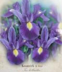 Iris hol / košatý / MAGIC 10ks