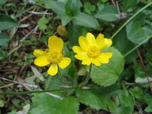 Pryskyřník - Ranunculus