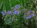 Brutnák lékařský (Borago officinalis) 50 semen