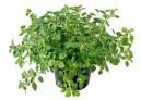 Oregáno řecké (Origanum vulgare) 100 semen