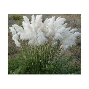 Pampová tráva-bílá (Cortaderia selloana white) cca 70 semínek