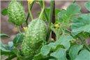 Okurek Burr - West Indian ( prazelenina: Cucumis anguria ) cca 20 semen