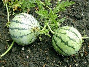 Meloun Cream Saskatchewan - bílý ( prazelenina: Citrullus lanatus ) cca 10 semen