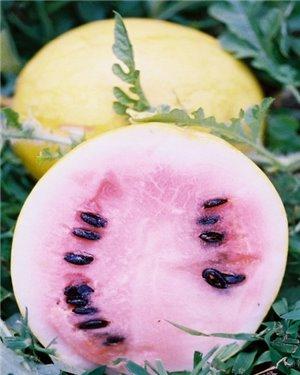 Meloun Golden Midget - zlatý ( prazelenina: Citrullus lanatus ) cca 10 semen