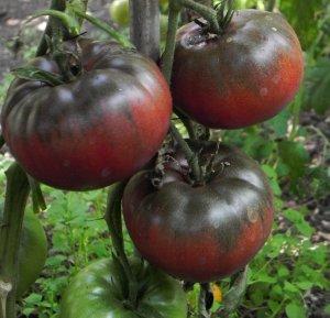 Rajče Black from Tula - černé ( prazelenina: Solanum lycopersicum ) cca 15 semen
