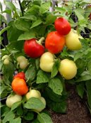 Paprika Alma - třešňová ( prazelenina: Capsicum annum ) cca 15 semen