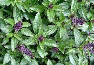 Bazalka Cinnamon - skořicová ( prazelenina: Ocium gratissimum ) cca 20 semen
