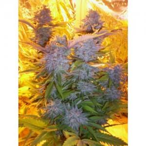 Blue Mammoth - 3 autoflower semienka Barney Farms